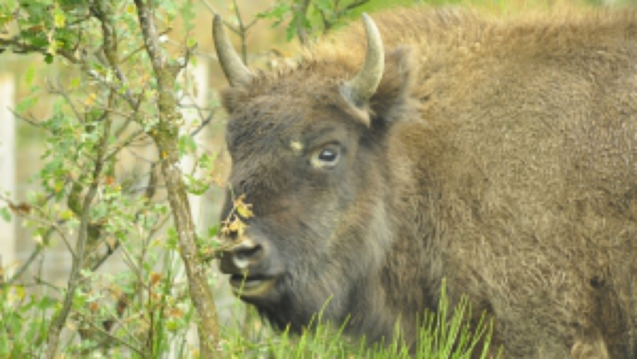 European Bison Reserve in SanCebrian de Muda